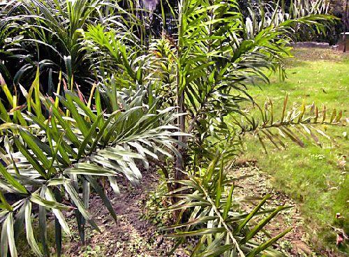 Для плетения торшеров из ротанга используют лианы, выращенные в Индонезии, Малайзии, Филиппинах и Австралии